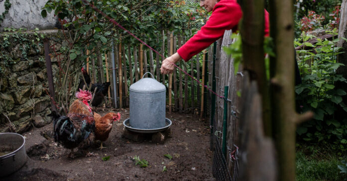 French Roosters Now Crow With the Law Behind Them
