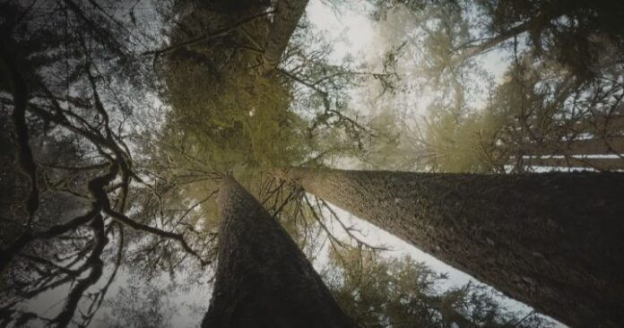 Story of UBC researcher who found how trees 'talk' to each other headed to Hollywood